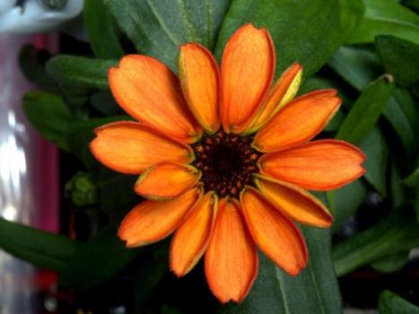 國際太空站種的百日菊開花